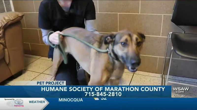 Gizmo is German Shepherd/Terrier, American Staffordshire mix who came to the Humane Society of...