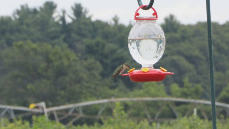A hummingbird stops for a drink of water.