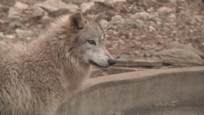 Hunters who applied for a wolf hunt preference point will be notified Monday on their Go Wild...
