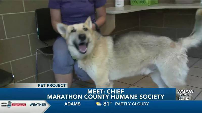 Chief is a 6-year-old  who came to the Humane Society of Marathon County as a transfer from...