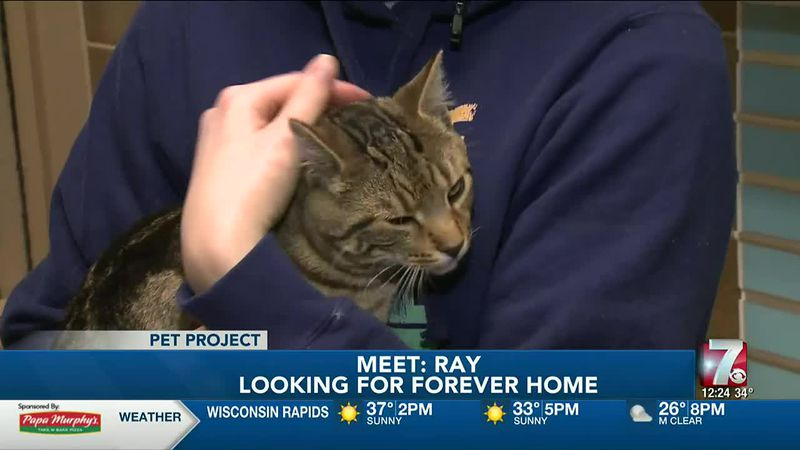 Ray is a 6-month-old domestic short hair who arrived at the Humane Society of Marathon County...