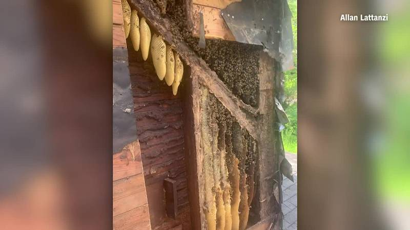 A couple has to pay $12,000 to remove close to half a million bees. (Source: Allan Lattanzi via...