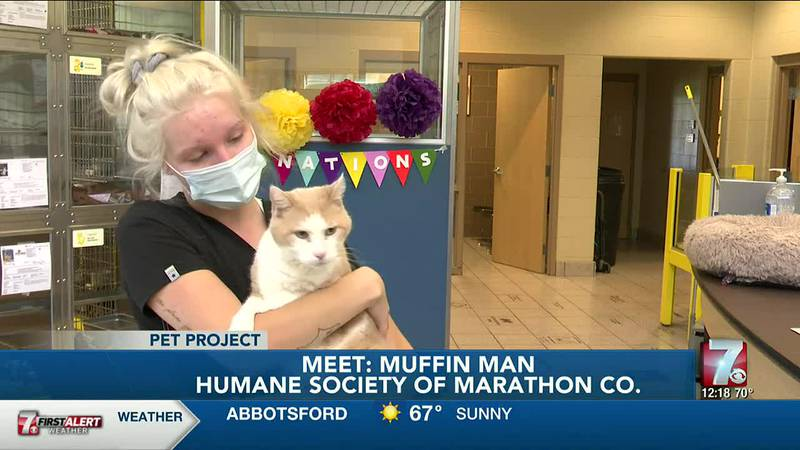 Muffin Man is a 10-year-old domestic short hair cat surrendered to the Humane Society of...