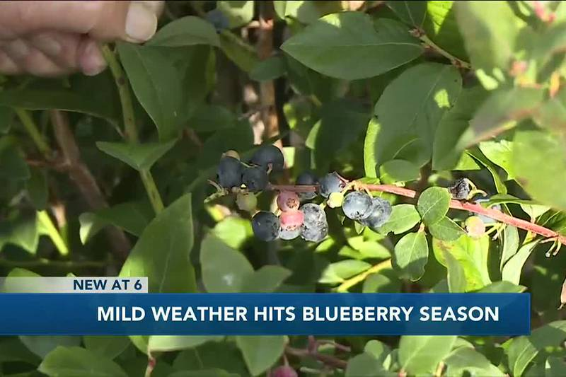 Mild Weather Hits Blueberry Season 10/15/2021