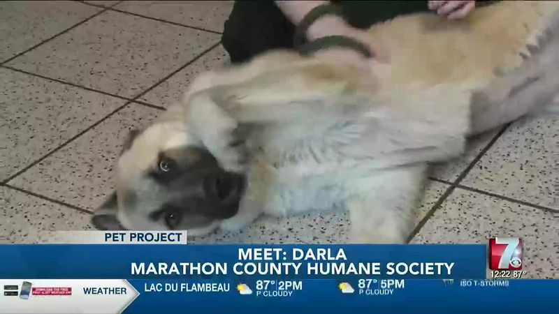 Darla is an 8-month-old dog who came from Texas to the Humane Society of Marathon County.
