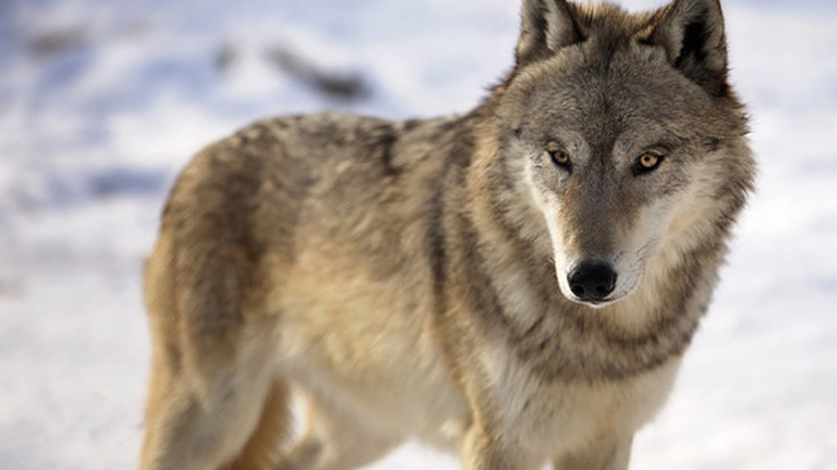 Wisconsin is set to begin the process of establishing a 10-year wolf management plan, saying...