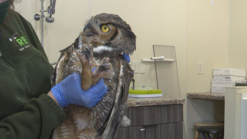 A great horned owl is tended to by REGI director Marge Gibson