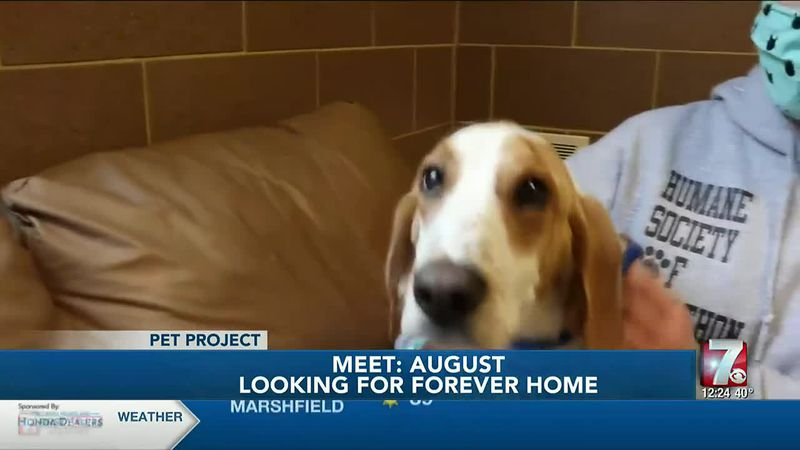 August is a hound mix who came to the Humane Society of Marathon County when someone found him...