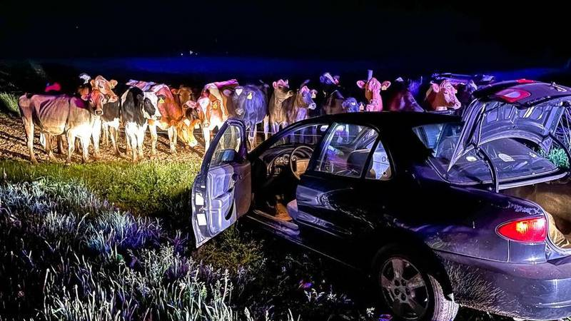 A group of cows are credited with stopping a long car chase that began in Barron Co., on May...