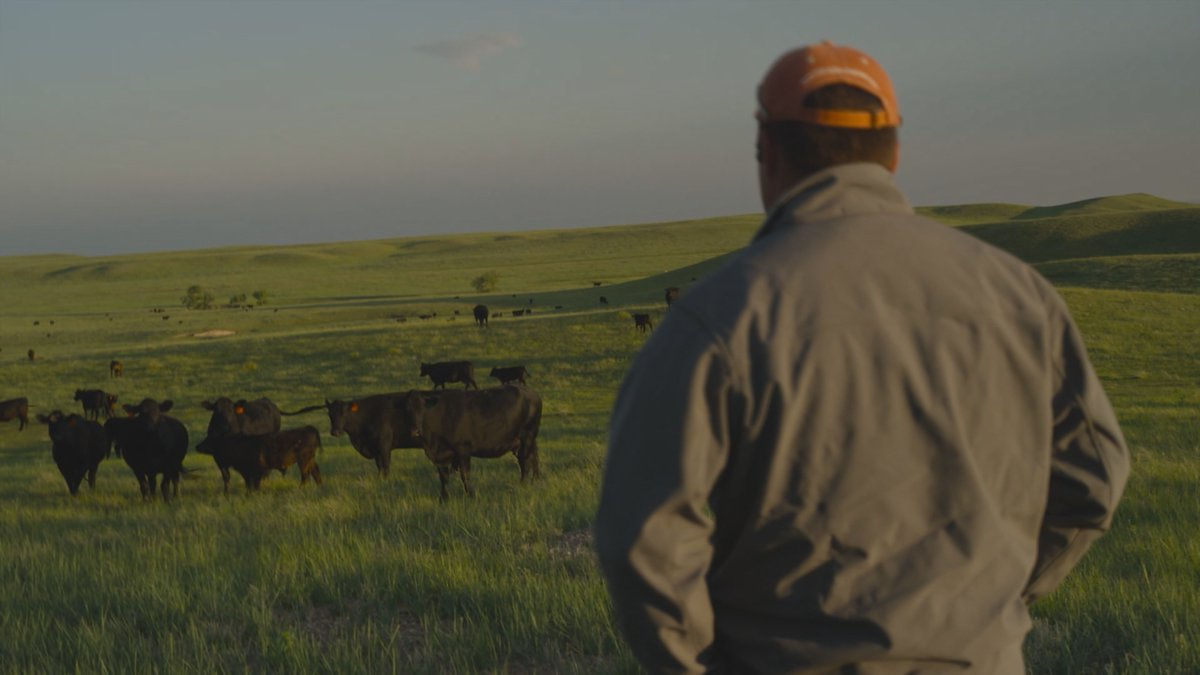 Cows graze in pasture as farmer looks on