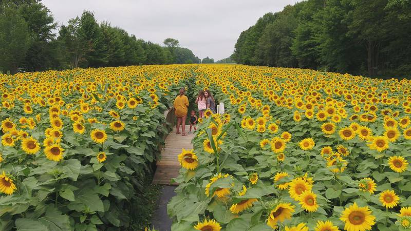 The sunflower field at Auburndale's School Forest in Auburndale, WI.