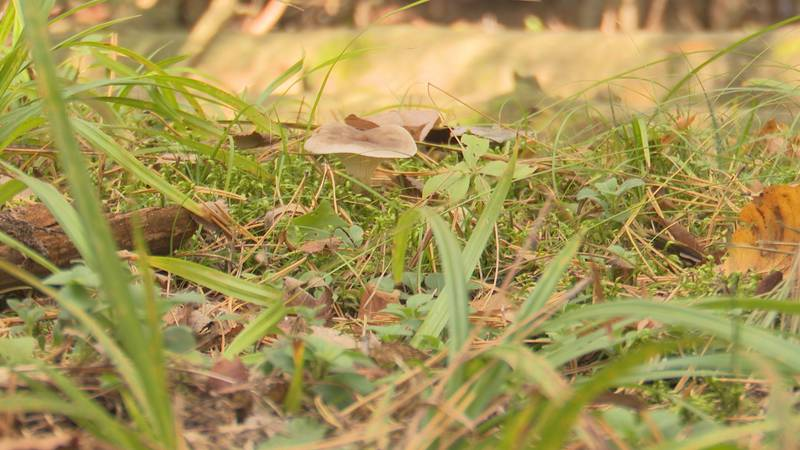 Wild mushrooms can be gathered for food
