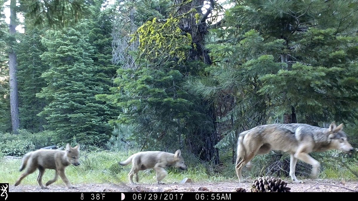 FILE - This June 29, 2017, file remote camera image provided by the U.S. Forest Service shows a...