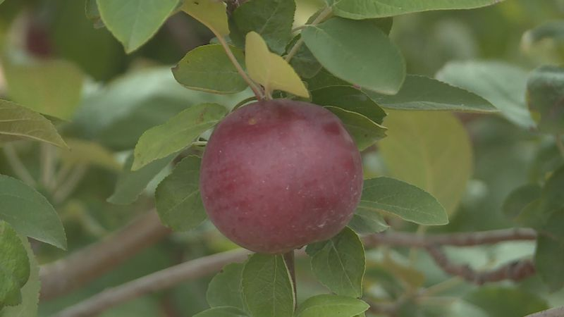 Apple picking season has arrived this fall and as people stay safe during the pandemic,...