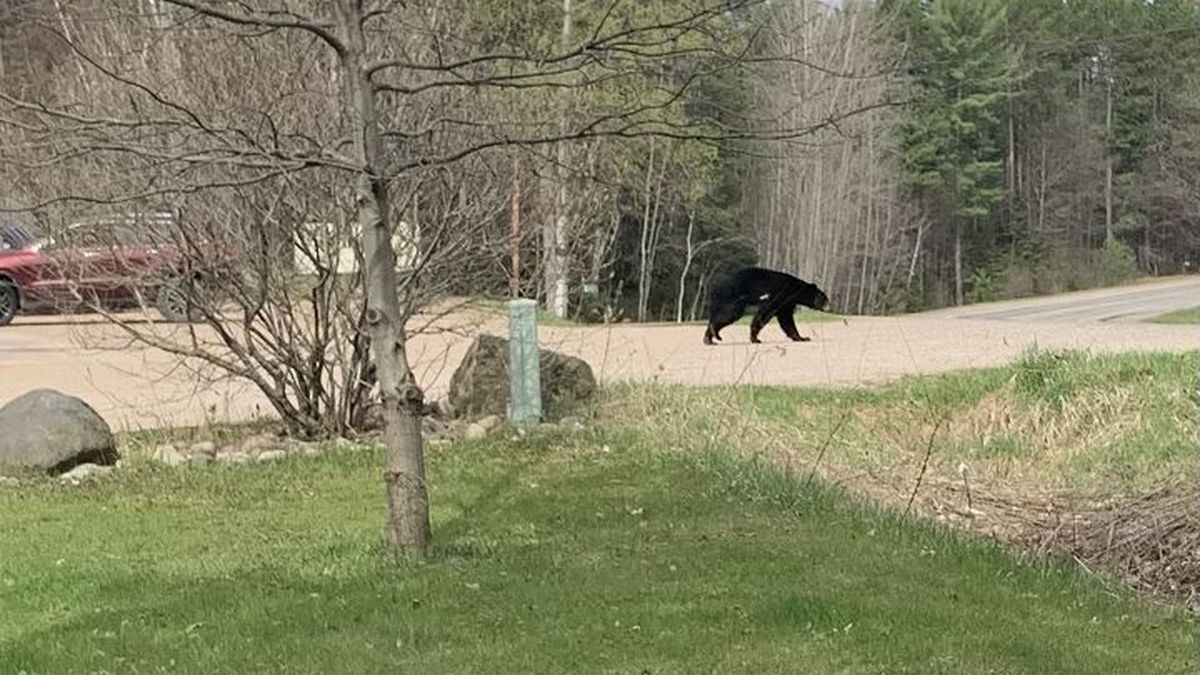 Bear spotted in town of Pelican
