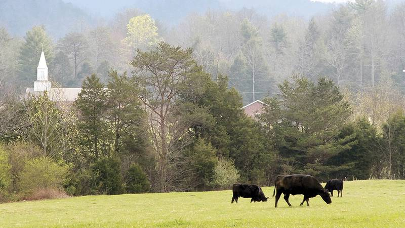 FILE - In this March 25, 2016 file photo, cows graze in a field at the Townsend Visitor Center...