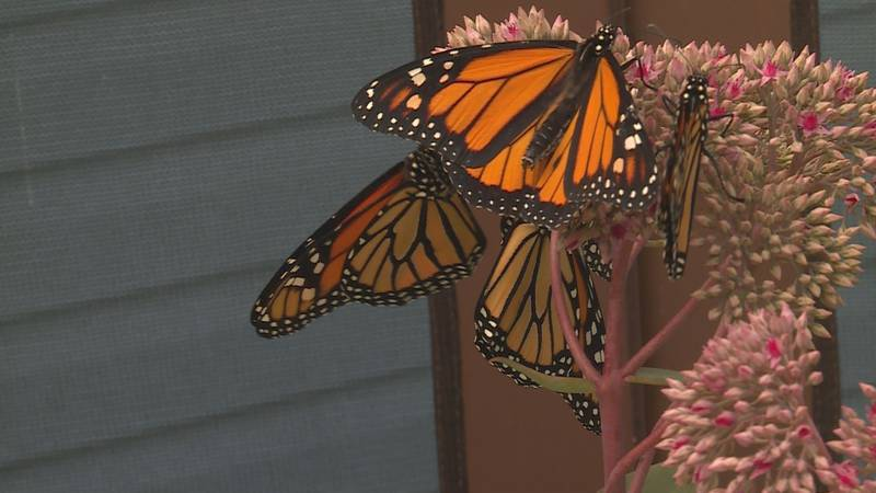 Monarch Butterflies from Marshfield Monarch are being released to start migrating.
