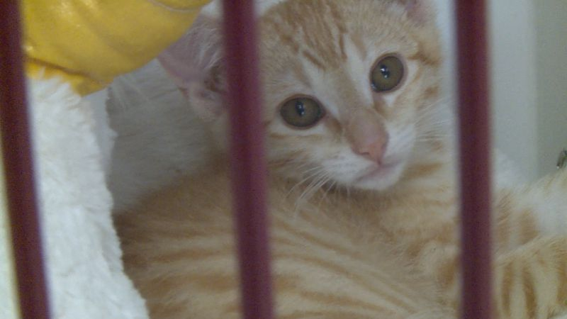 Strawberry is a kitten at the Marshfield Area Pet Shelter.