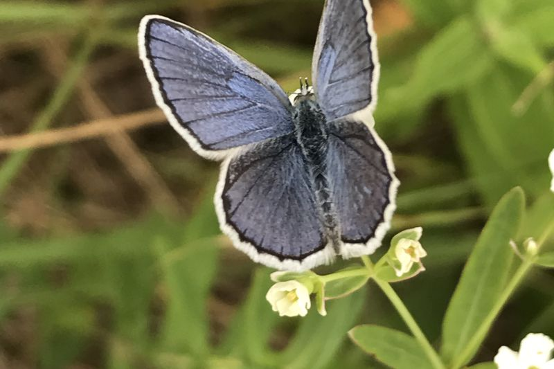 A Karner Blue Butterfly rests on a wild lupine in Wisconsin