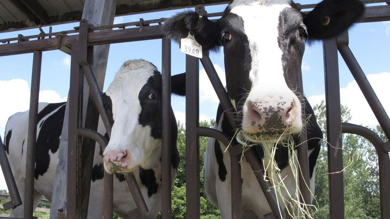 FILE - Cows on pasture at the University of Vermont dairy farm eat hay in a Thursday, July 23,...