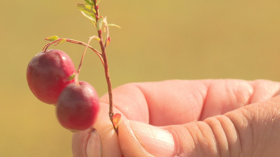 Cranberries are turning a rich red indicating they're ready for harvest.