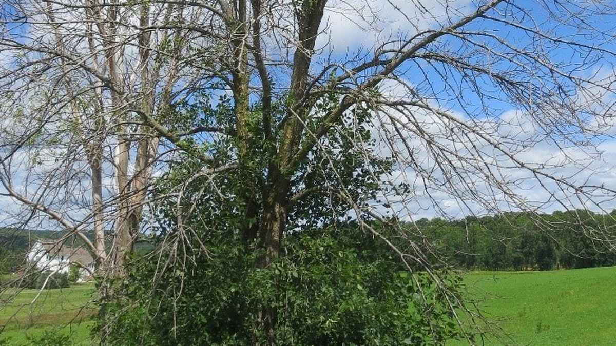 Emerald Ash Borer damage. Photo courtesy: Wisconsin DNR