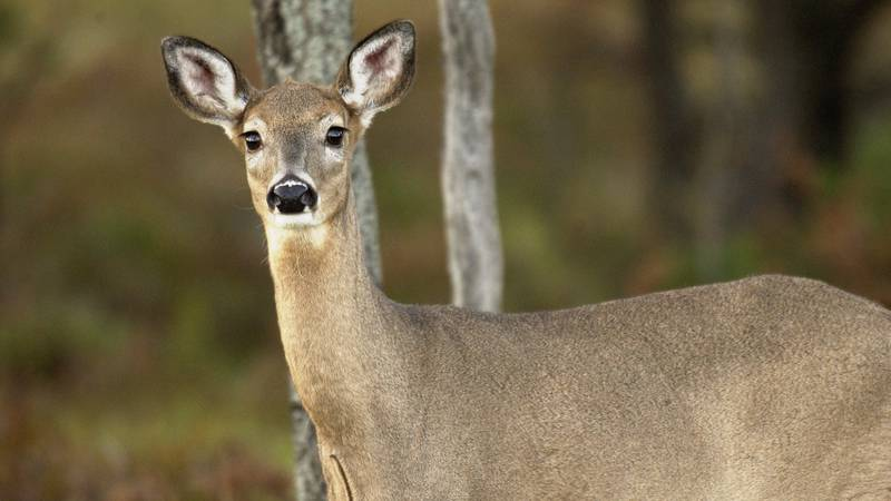 Most Michigan deer hunters will not need to apply for an antlerless deer hunting license in...
