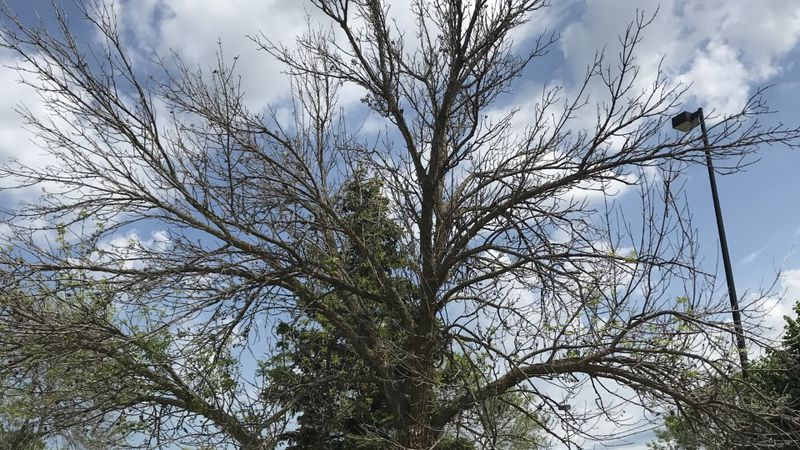 A dead ash tree on the FVTC campus, a victim of the Emerald Ash Borer.