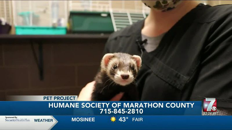 Jerry is a female ferret who came to the Humane Society of Marathon County as a stray.