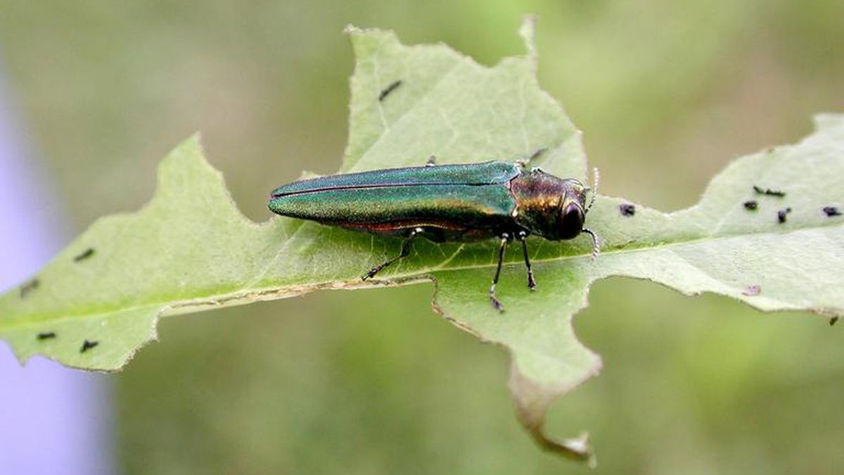 Emerald ash borer adult with feeding damage to ash leaf. Photo Credit: Photo
