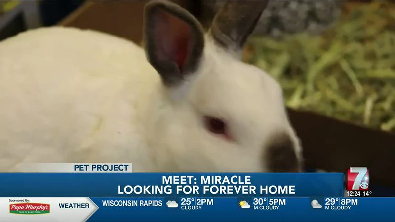 Miracle is a rabbit who was left in a box at the Humane Society of Marathon County.